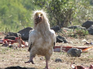 Египетски лешояд