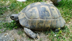 tortoise_M_5