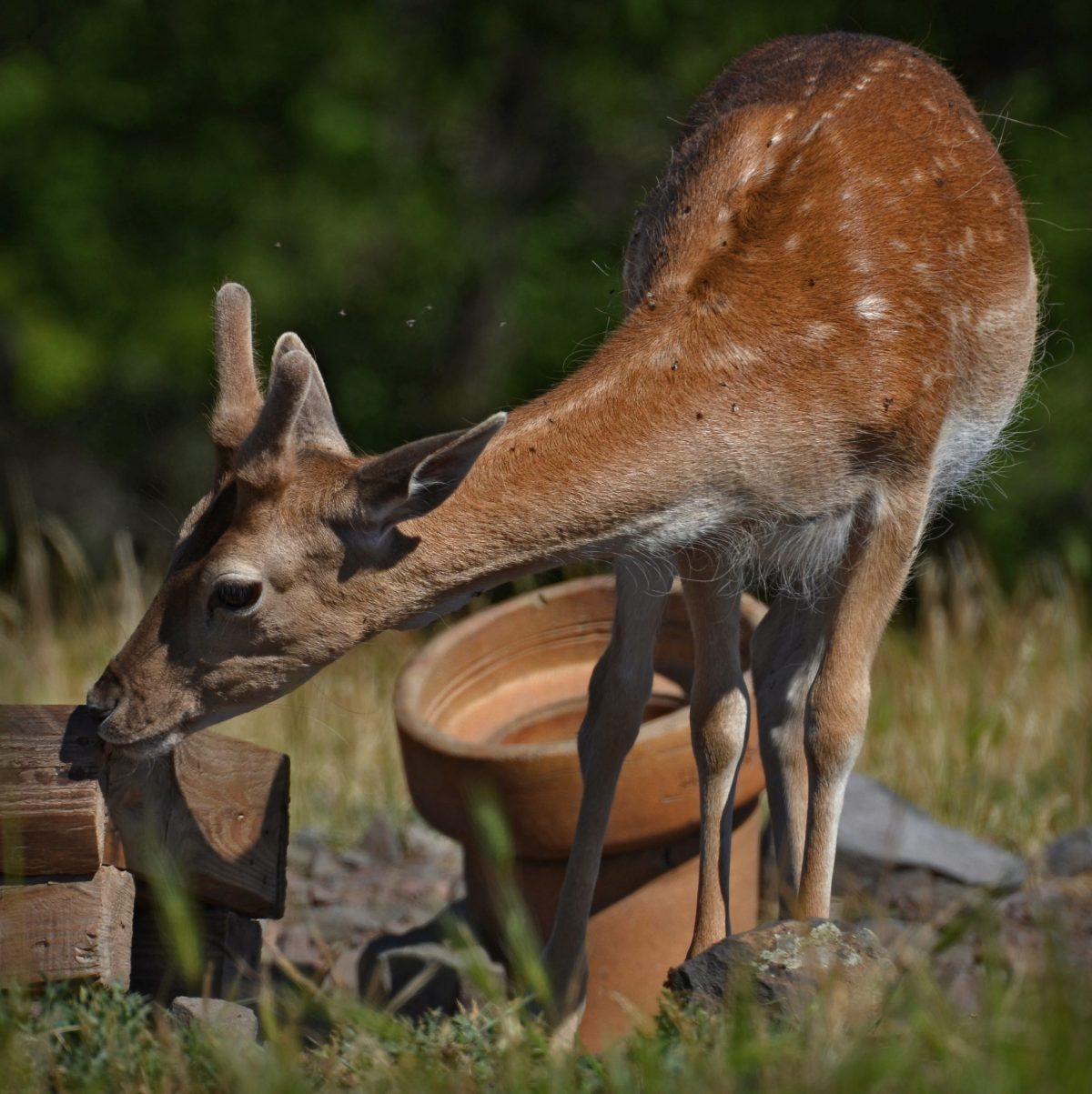 Любопитен елен