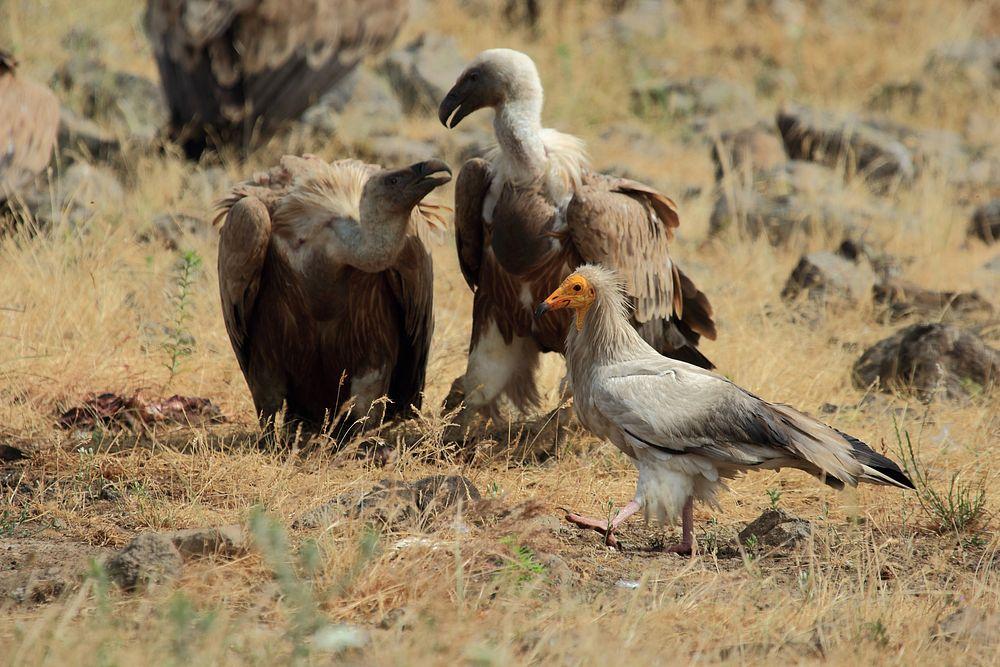 Белоглави лешояди и Египетски лешояд