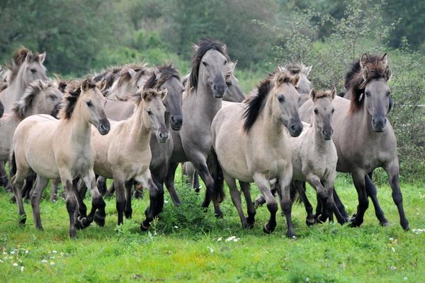 Диви коне тарпани