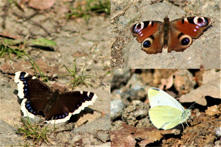 Пеперуди Студен кладенец