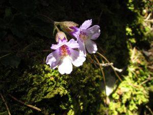 диви цветя по маршрут Хвойна - Косово